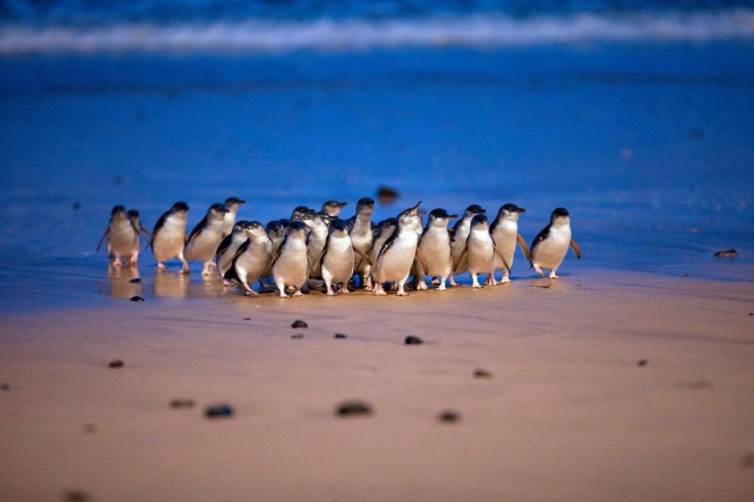 ペンギンパレードで旅気分 オーストラリアのフィリップ島から日本語配信