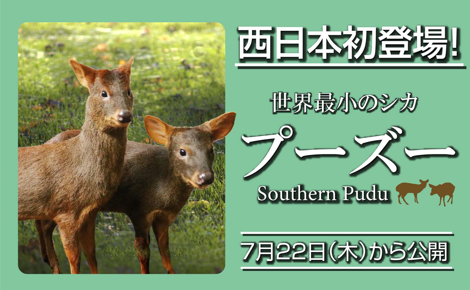 神戸どうぶつ王国で世界最小のシカ「プーズー」公開 日本で2園目、体長70センチの雄・雌各1頭