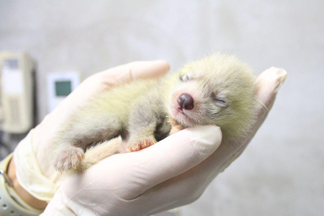 レッサーパンダの赤ちゃん写真公開 日本平動物園がホームページやツイッターで